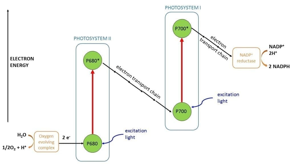 Schematic of photosystem I and III: the origin of chlorophyll fluorescence