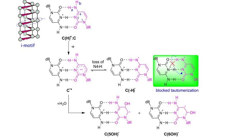 i-motif oxidation